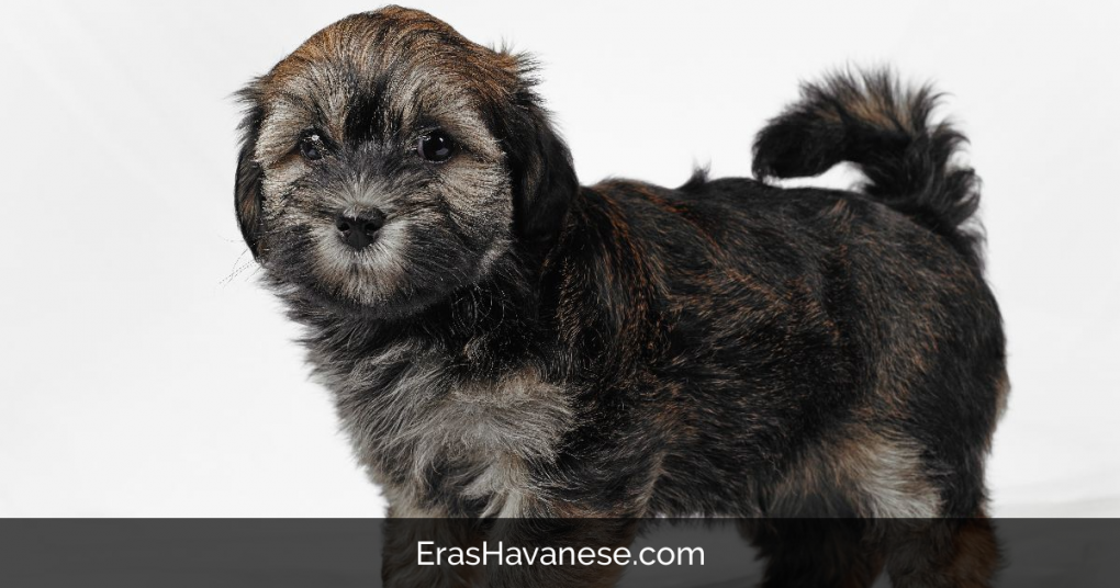 Bichon Havanese Hypoallergenic Puppy