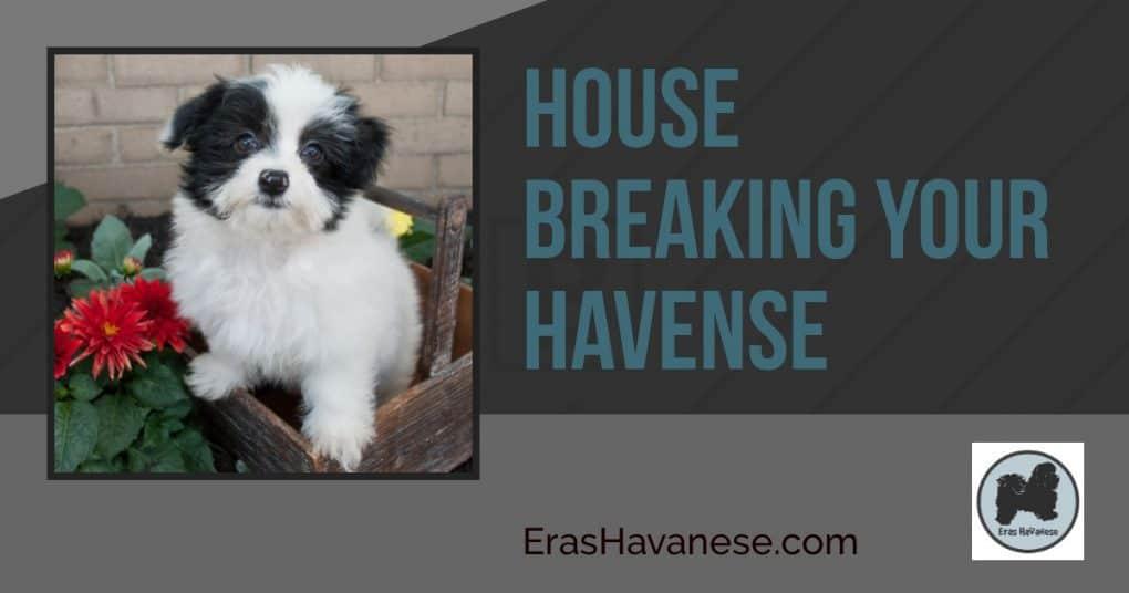 havanese Housebreaking