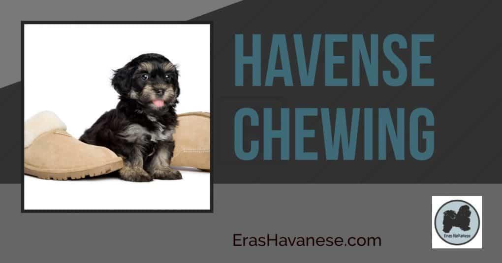 Havanese Chewing