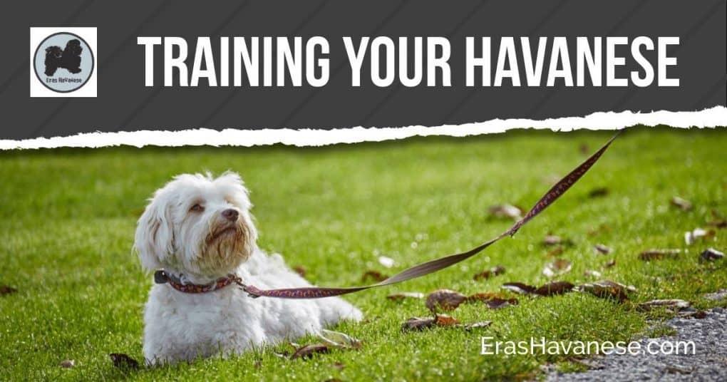 Havanese Training