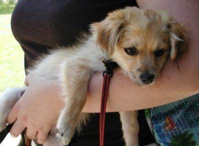 Short Haired Havanese Dog