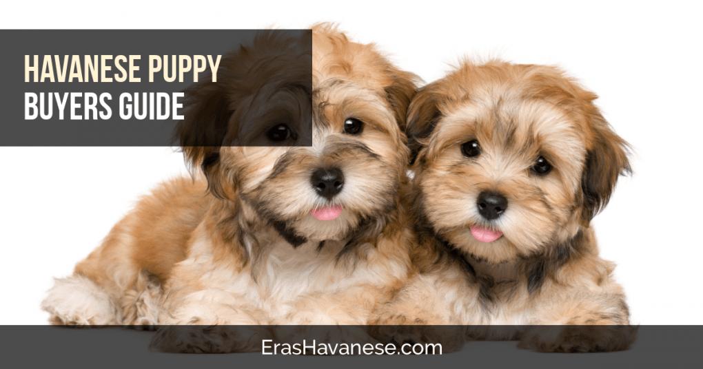 Havanese Puppy Buying