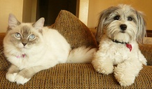 are havanese good with cats
