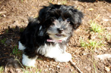havanese common questions