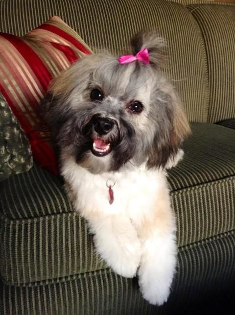 10 Best Havanese Haircut How To Make Them Look Even More