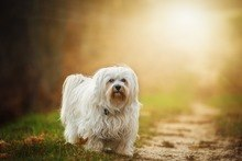Flare Havanese Pet Ahavanese puppies so expensivenimal Outdoor Small Dog