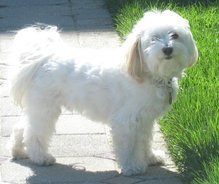 havanese why they are the best dogs