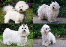 is havanese a bichon