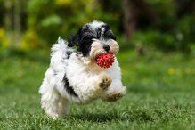 is havanese for me