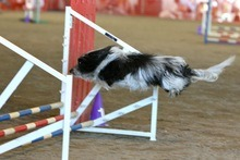 when havanese jumping dogs