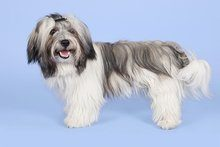 a bried history of havanese