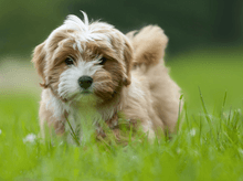 are havanese good swimmers
