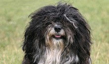 are havanese one person dog