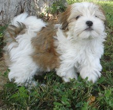 are havanese toy dogs