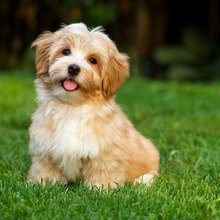 havanese life stages