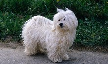 havanese what kind of dogs are they