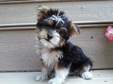 yorkie vs havanese which one to choose