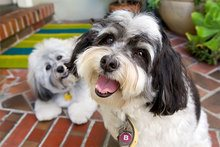 best funny havanese quirks