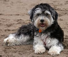havanese feeling itchy