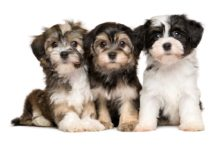 havanese how many puppies in a litter