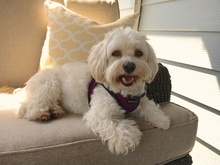 havanese is good apartment dog